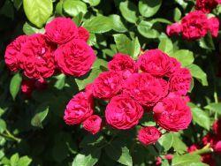 Ramblerrose 'Chevy Chase' - Rosa 'Chevy Chase'