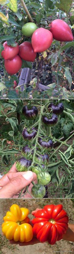 СЧИТАЕТСЯ:  Гибрид более урожайный чем сорт.   ЧТО за КАЧЕСТВО томата отвечает за большую урожайность?  БОЛЕЕ высокая УРОЖАЙНОСТЬ. Как это понять?  Томатное растение имеет свою форму и ее не переделаешь.  Любой ИНДЕТ хоть сортовой ,хоть гибридный ВЫДАЕТ цветочные кисти через три листа.  ДЕТ через один лист.   ЗА СЧЕТ ЧЕГО получается БОЛЕЕ высокая урожайность?  ГИБРИД как мозаика , собирается из нескольких форм:  Обязательно- ТРАНСПОРТАБЕЛЬНОСТЬ (перевозки), поэтому гибрида с тонкой...