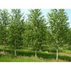 Betula Utilis Doorenbos (Witte Berk) - deBomenshop.nl Bomen kopen online shop