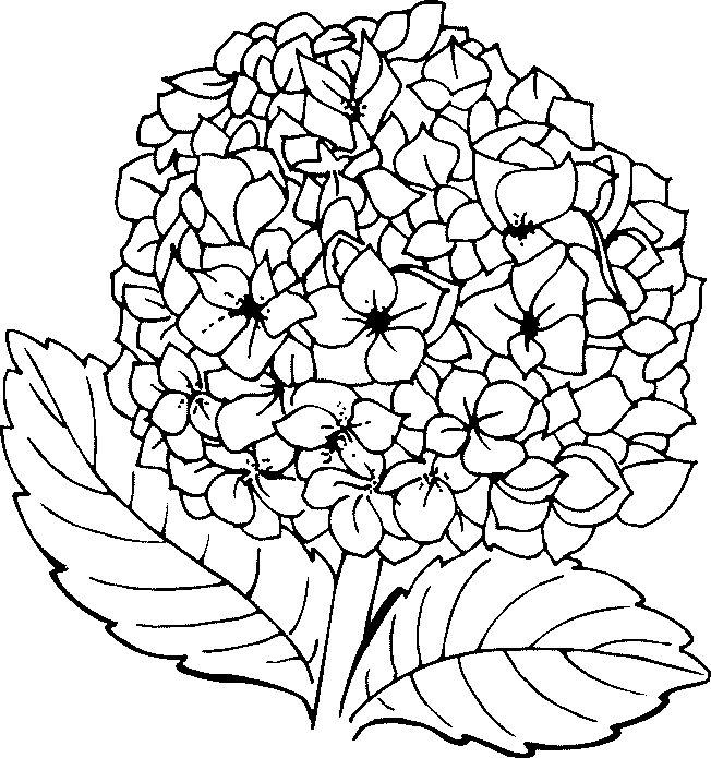 coloriage fleurs et plantes hydrangeacoloring pagesembroidery