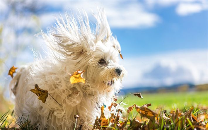 Download wallpapers Havana bichon, white fluffy dog, cute animals, autumn, dogs