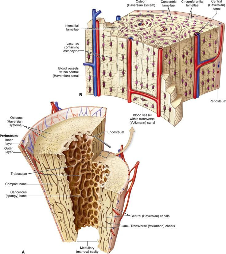 anatomy of skeletal tissue