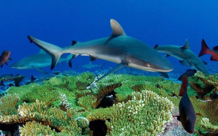 great white shark habitat - Pesquisa Google