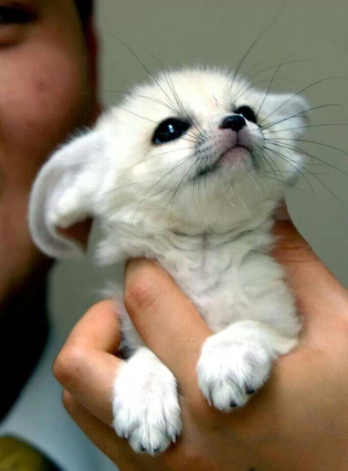 Baby white Feneca Fox