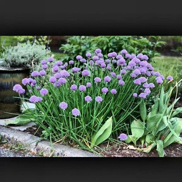m s de 25 ideas incre bles sobre chives plant en pinterest what flowers to plant together. Black Bedroom Furniture Sets. Home Design Ideas