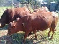 Livestock   OLX