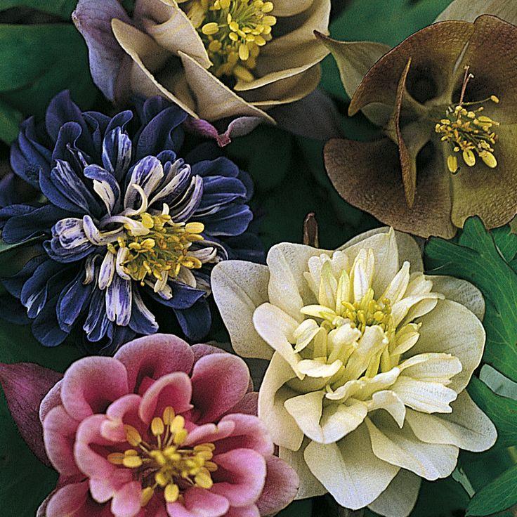 Aquilegia sweet rainbows perennial biennial seeds
