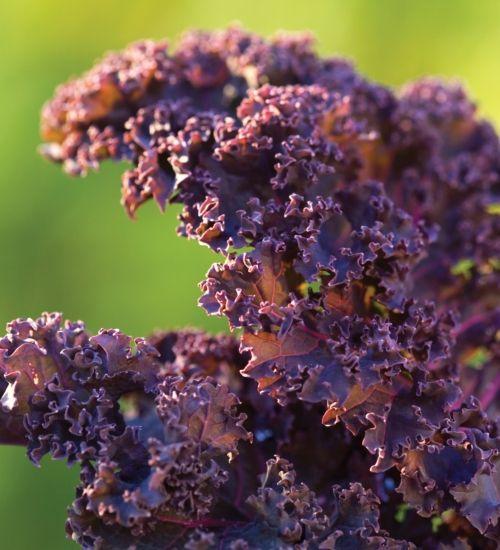 Kale 'Redbor' F1