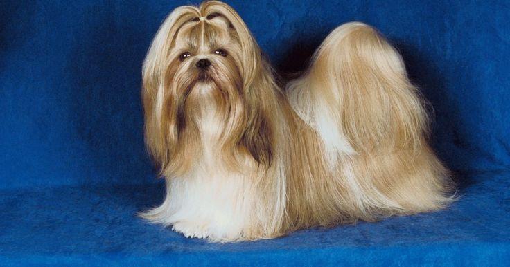 Cómo elegir un cachorro Shih-Poo. El shih-poo es un cruce entre un shih-tzu y un poodle. Se considera un perro híbrido, o lo que antes se llamaba raza mixta. Sin embargo, con las nuevas razas de diseño que vienen a escena, la gente está dispuesta a pagar miles de dólares o más por un perro de raza mixta con un nombre lindo. El shih-poo tiene la inteligencia de un caniche y ...