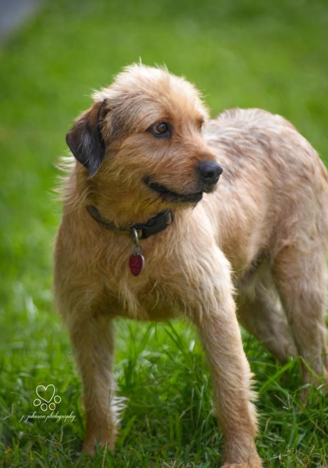 ***URGENT! - 11/13/16 Napoleon is an adoptable Terrier searching for a forever family near Houston, TX. Use Petfinder to find adoptable pets in your area.