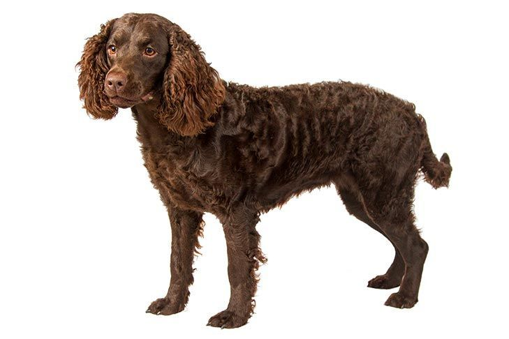 American Water Spaniel Eager Happy Charming American Water Spaniel Dog Breeds Spaniel Puppies
