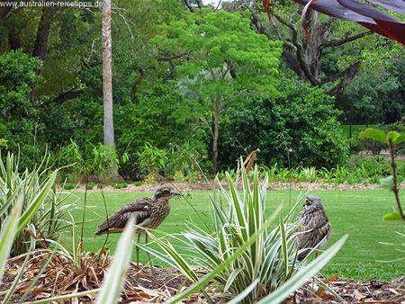 """Bush Stone Curlews sind die """"Roadrunner"""" von Australien. Das Foto stammt aus dem Botanischen Garten in Brisbane. Die Vögel sind relativ einfach zu entdecken, da sie irgendwie zu glauben scheinen, dass sie """"unsichtbar"""" sind..."""