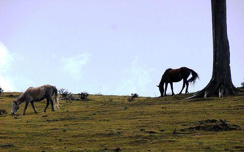Pones grazing near Sandakphu