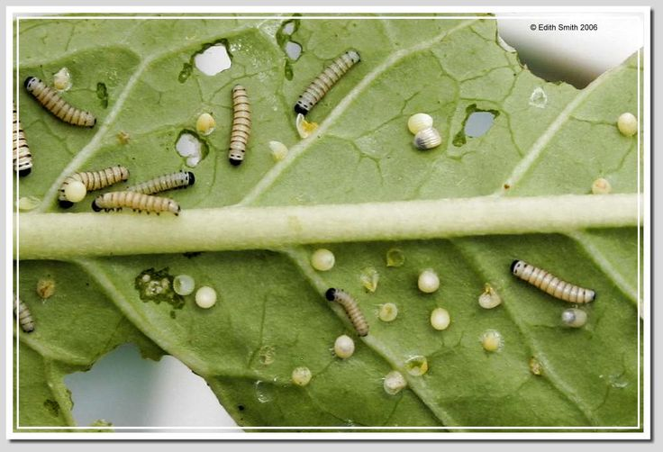 Monarch Butterfly Eggs - Bing Images | Garden: Birds ...