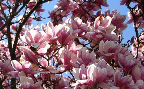 Магнолия: Flower Trees, Trees Gardens, Trees Flower, Flower Gardens, Gardens Start, Magnolias Trees, Trees Blossoms, Gardens Guide, Gardens Plants