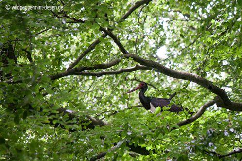 schwarzstorch altvogel am nest, brutplatz schwarzstorch, hessen, buchenwald schwarzstorch, wildeschoenheiten.wordpress.com