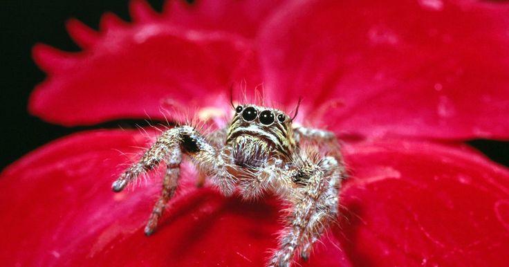 ¿Qué tipos de arañas son de color rojo y amarillo?. Muchas arañas tienen marcas amarillas y rojas. Estos colores brillantes pueden ocasionar que la gente se preocupe respecto a si las arañas son venenosas, pero la única araña venenosa en los Estados Unidos es la viuda negra. Estas arañas no tienen marcas amarillas. Para identificar una araña de manera adecuada, es importante reunir tanta ...