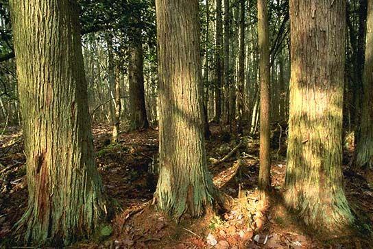Восточный красный кедр / Eastern Red-cedar