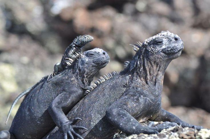 5. Geoffrey captured this shot of Marine Iguanas on Isabela Island