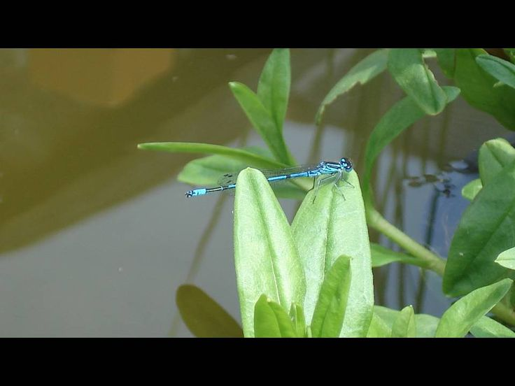 We were inundated with damselflies this year and so many have mated and laid in the pond
