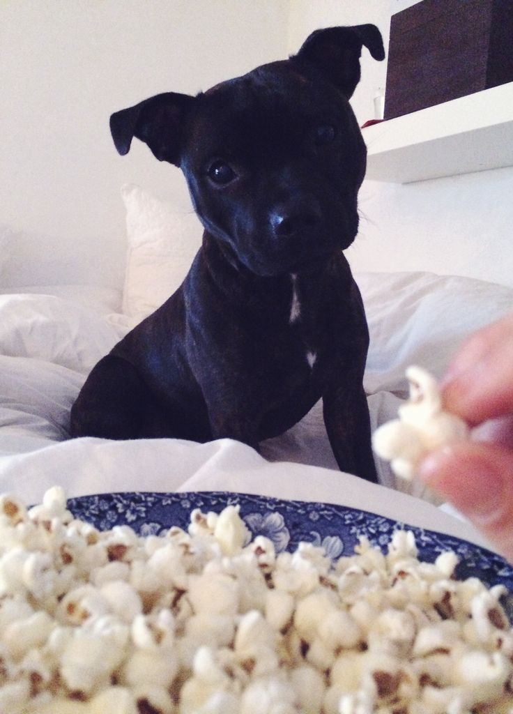 Look at this little ball of pure CUTENESS!!!                                    English staffordshire bull terrier craving for popcorn