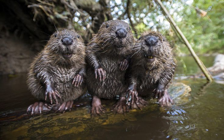 A husband and wife photography team are now so friendly with a family of wild beavers they let them take their portrait.....