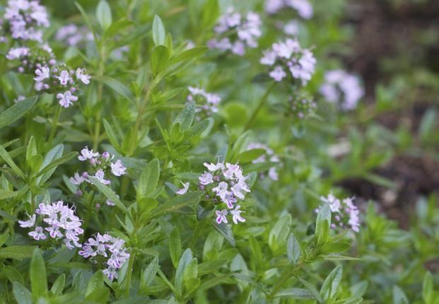 Cząber ogrodowy to popularna roślina lecznicza i przyprawowa, który z powodzeniem można uprawiać w przydomowym ogrodzie ziołowym