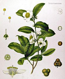 Camellia sinensis plant, with cross-section of the flower (lower left) and seeds (lower right)