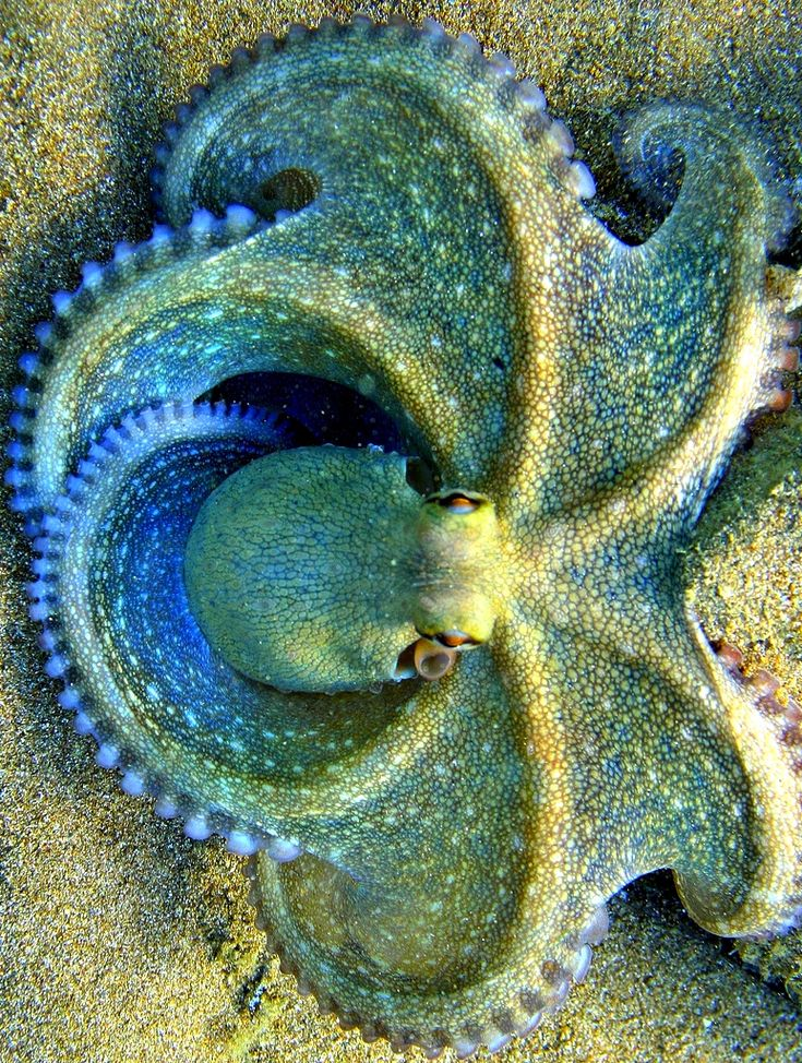 Blue Clover Octopus. Absolutely beautiful.                              …