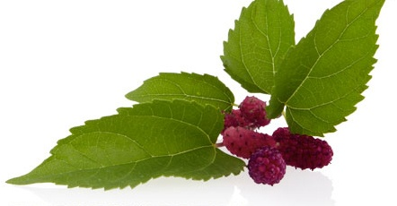 #MULBERRY ROOT  One of three ingredients in #AVEDA's unique Brightening Blend.  A woody perennial with a high anti-oxidant content, the extract of the Mulberry Root has been known to contain substances that slow the formation of melanin.