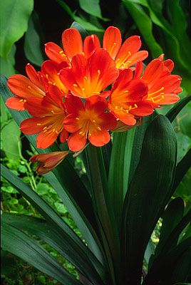 Flowers...Flowers...Flowers...  Clivia