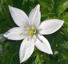plants star of bethlehem | Star Of Bethlehem Flower Pictures & Meanings