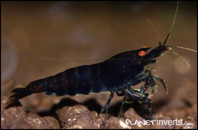 Black Tiger Shrimp with orange eyes