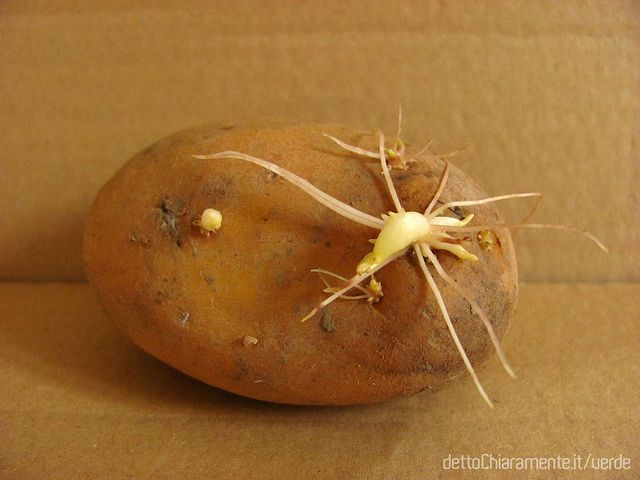 patata 2 - germogli spuntati©   Guarda tutti gli step e la spiegazione  nell'articolo di dettoChiaramente.it/verde:  http://www.dettochiaramente.it/verde/orto/13-orto/ortaggi-schede-tipi-verdure-come-coltivare/86-patate