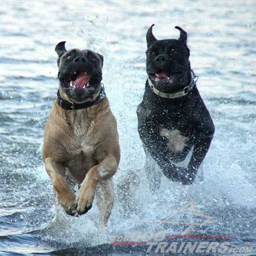 Can Corso dogs in water action. Follow our FDT news and participate in next #dog #photo #contest!