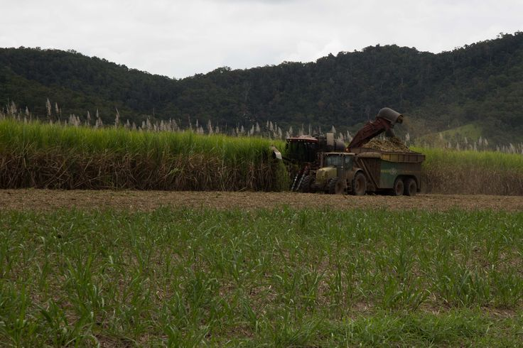 Cane cutting in Far North Queensland.  A major industry. #canecutting