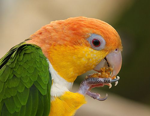 White-Bellied Caique.