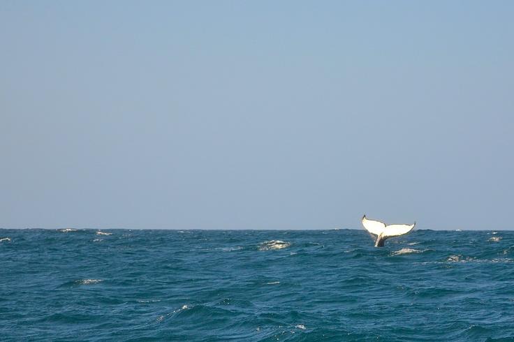 Whale, Ponte-de-Ora, Mozambique
