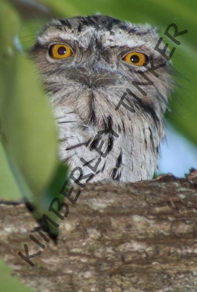 Tawny Frog Mouth Owl Western Australia