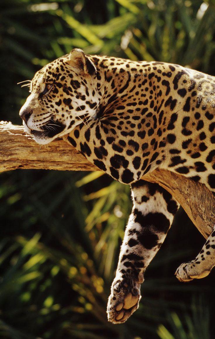 Big Cats ♥ | Jaguars                                                                                                                                                                                 Más