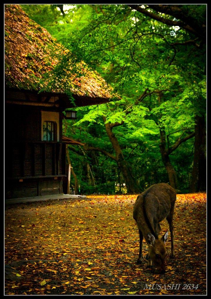 Deer and Tea House in Nara, Japan 水谷茶屋