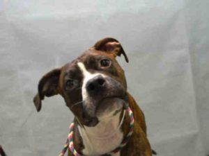 TORRE – A1091220  NEUTERED MALE, BR BRINDLE / WHITE, AM PIT BULL TER / BOXER, 3 yrs STRAY – ONHOLDHERE, HOLD FOR ID Reason STRAY Intake condition EXAM REQ Intake Date 09/25/2016, From NY 11208, DueOut Date 09/28/2016,