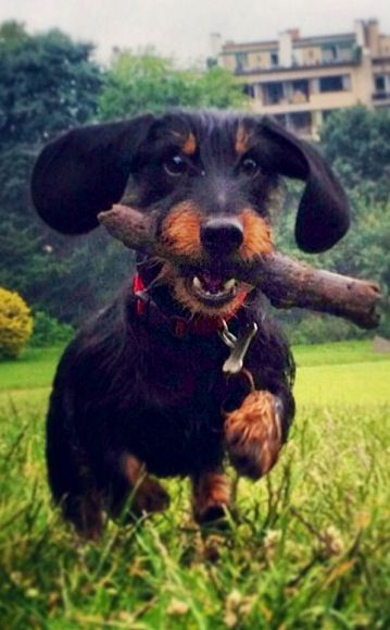 ❤ happy wirehaired dachshund