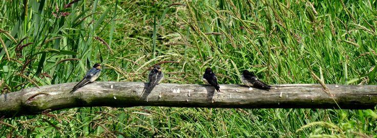 Zo mooi dit..... zo blij dit te hebben mogen zien!! Hoe zeldzaam is dit, 4 jonge zwaluwen op een hek, gewoon voor mij aan het poseren.... wachtend op pa en moe zwaluw om voedsel te brengen... want als ze eenmaal groot zijn komen ze zelden of nooit meer tot rust... ze slapen zelfs in de lucht. Foto #YvdVeen#