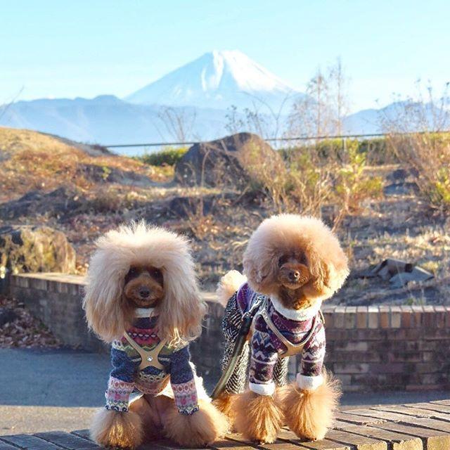 * おはよ〜さん 昨日の富士山とコラボpic♪ * 今日は夏以来… かわい子ちゃん達に愛に行ってきま。 * * #トイプードル#トイプードルレッド#多頭飼い#愛犬#犬#わんこ#チームシジミ目双葉sa#頭がボンバー#富士山#dogs#pets#toypoodle#poodle#poodlelove#petstagram#petstagrampoodles#dogstagram#ig_dogphoto#instatoypoodle#todayswanko#ilovemydog#east_dog_japan#all_dog_japan#pecoいぬ部#wooftoday#inutokyo