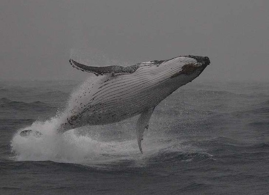 A humpback whale breaches in the rain off Sydney
