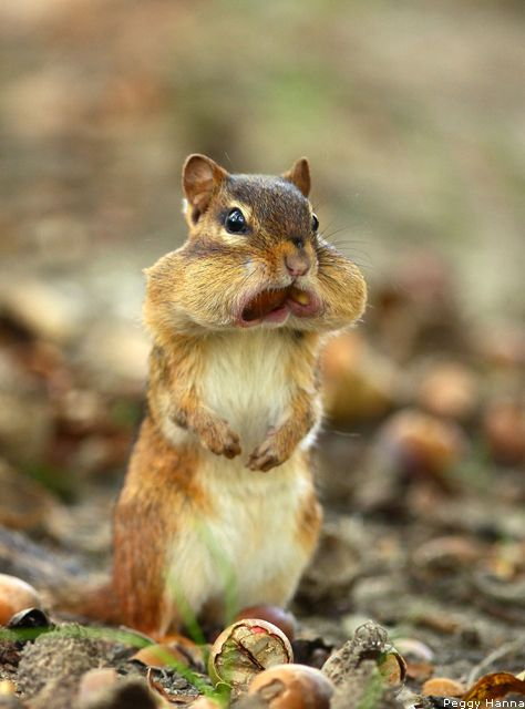 Hungry Chipmunk; Gebhard Woods State Park, Morris, IL from @National Wildlife Federation