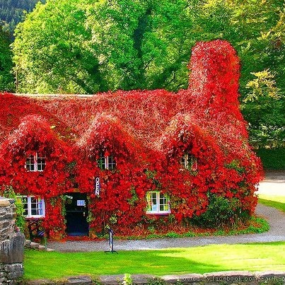 This 15th-century cottage houses the Tu Hwnt i'r Bont tearooms on the banks of the River Conwy Wales, UK. Just look at that beautiful Virginia Creeper covering the whole house!""