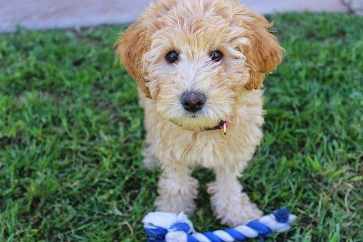 Pin On Labradoodle Puppies