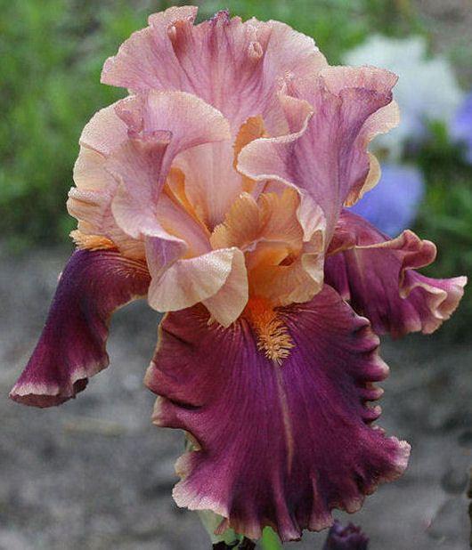 Iris 'Impressionist'